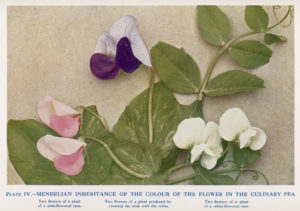 Photo of Gregor Mendel's pea plants